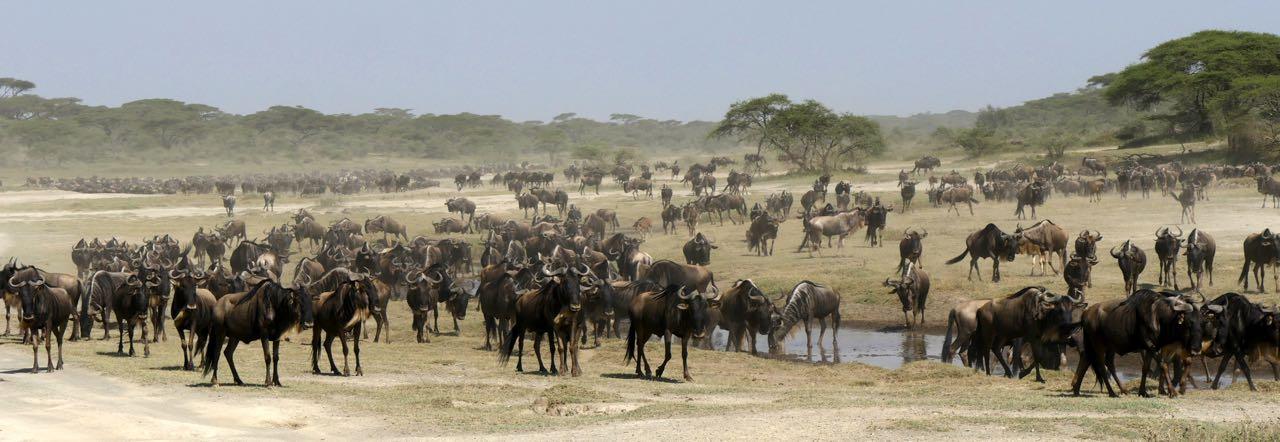 migration masaï mara